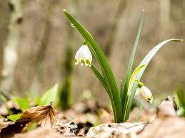 Snowflake Flower - free photo snowflake flower nature plant free image on