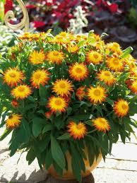 topfpflanzen balkon herbstblumen als haus oder tischdekoration einsetzen tolle beispiele