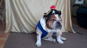 top 5 english bulldog halloween costumes for that extra zing a