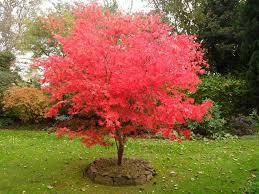 imagenes de jardines pequeños con flores 10 árboles para jardines pequeños acer palmatum patios and gardens