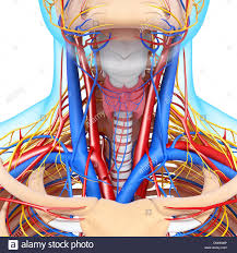 Human Anatomy Thyroid Artery Vein Thyroid Gland Drawing Stock Photo Royalty Free Image