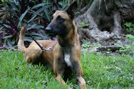 belgian sheepdog for sale philippines for sale obedience u0026 protection trained belgian malinois