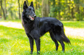 belgian shepherd dog rescue belgian shepherd personality history and pictures pawculture