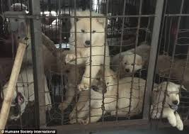 Dogs At Dinner Table China U0027s Yulin Dog Festival Scuppered As Activists Have Saved