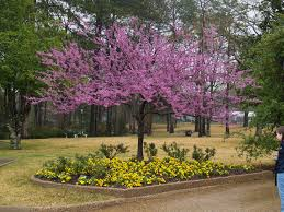 east texas native plants redbuds signal spring east texas gardening