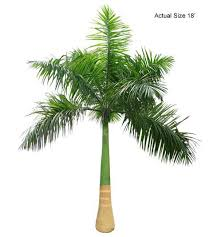 cuban royal palm roystonea regia the ornamental plant store
