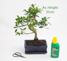 ficus bonsai tree 12 year glazed pot and matching tray all