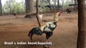 godavari poultry anaparthi 2017 youtube