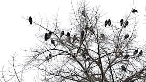 crows on the tree and in the air stock footage 7705939