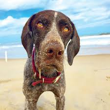 North Carolina how to travel with a dog images Adorable dogs on the beach coastal living jpg