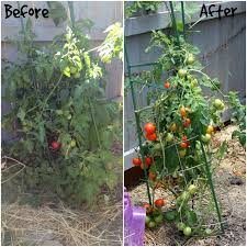 homestead update bunny love bees trimming tomatoes a new