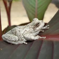 cope u0027s gray tree frog hgtv