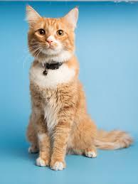 fiv postive cats what you should know arizona humane society