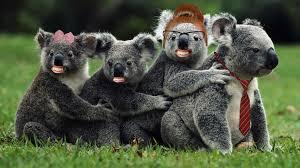 papa koala isn t sure this is where he should be anymore