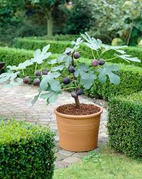 Garden Growing Zones - chicago hardy fig tree growing zones 5 10 high yielding and easy