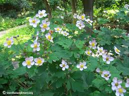anemone plant anemone plants picture