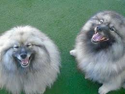 american eskimo dog vs keeshond the 129 best images about keeshond on pinterest kitty house