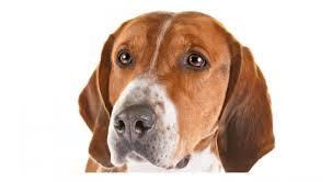 bluetick coonhound basset hound mix english foxhound dog breed information american kennel club