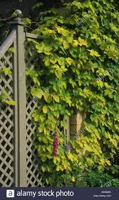 the malt house gloucestershire golden hop humulus lupulus