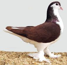 lahore pigeon appearance origin uses modern farming methods