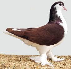 lahore pigeon appearance origin uses modern farming methods