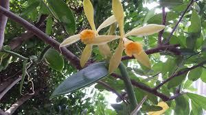 vanilla orchid vanilla orchid blooms in the matthaei botanical gardens