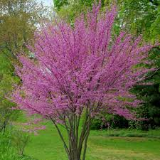 flowering trees u0026 small ornamental trees perfect for your area