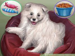 american eskimo dog training 4 ways to care for an american eskimo puppy wikihow
