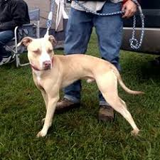 american pit bull terrier registry american pit bull terrier ofrn old family red nose registry