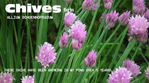 chives allium schoenoprasum you have to love chives chive