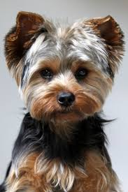 best 25 yorkie hair cuts ideas on pinterest yorkie haircuts
