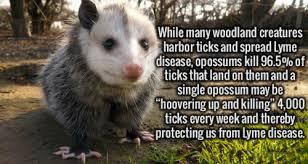Possum In My Backyard Opossum In My Bathroom What To Do Animal Bliss