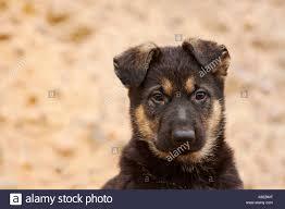 german shepherd puppy 8 weeks portrait stock photo royalty