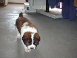 affenpinscher puppies for sale in ohio saint bernard puppies in ohio