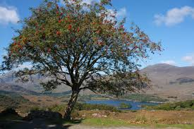 rowan tree the meaning of the in which you see rowan tree