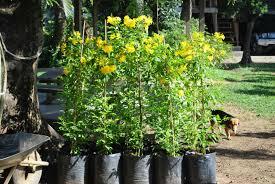 garden plants for sale manila home outdoor decoration