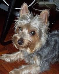 silky terrier hair cut australian terrier haircut best wedding hairs