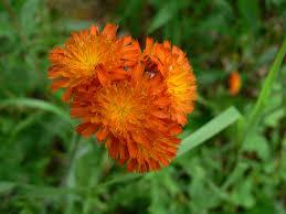 flowers wi file orange flowers in door county wi jpg wikimedia commons