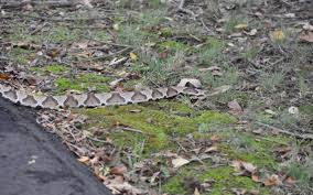 it u0027s snake season and they u0027re not all bad charlotte observer