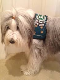 bearded collie brown snoopy u0027s dogblog therapy dog bearded collie therapy dog vest