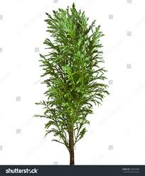 decorative conifer sapling tree isolated on stock photo 102642068