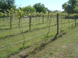 norton cynthania vines starting to grow beavers family vineyards
