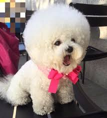 bichon frise puppy cut south korean bichon frise shares the secret behind her perfectly