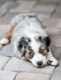 australian shepherd joint problems australian shepherd corgi mix puppy for adoption in cave creek