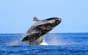 whale animal desktop wallpaper 52958 1920x1200 px hdwallsource com