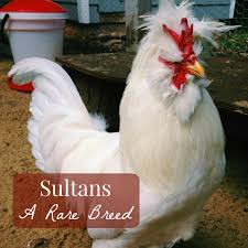 sultan chickens a rare breed best of linn acres farm