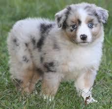 buy a australian shepherd lobo u0027s australian shepherds