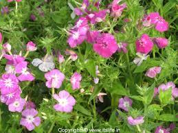 phlox flower phlox annuals gardening flowers