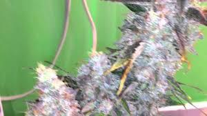 growing autoflower with led lights northern light autoflower medical marijuana pro grow 260x led grow