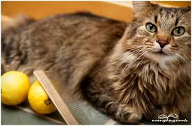 Bed Bugs On Cats 5 Natural Ways To Prevent U0026 Get Rid Of Fleas On Cats